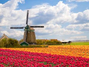 Netherlands - Zaanse Schans - Windmills with tulip fields around - shutterstock